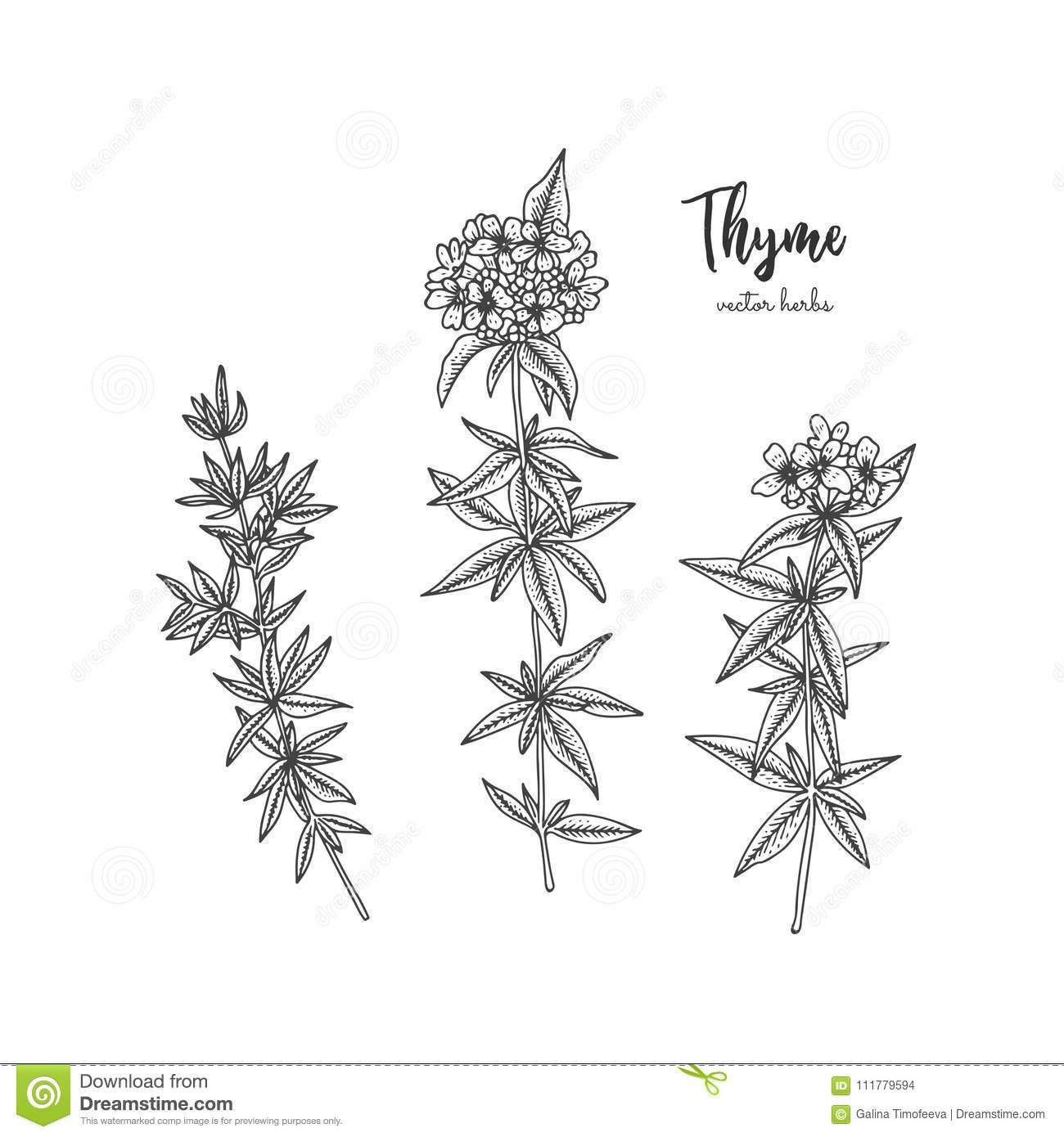 Vintage botanical engraving illustration of thyme. Beauty and spa, cosmetic ingredient. Design elements for promotion
