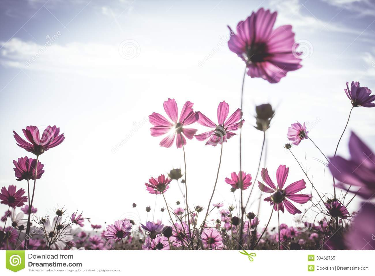 Vintage Cosmos Flowers Field Stock Photo - Image: 39462765