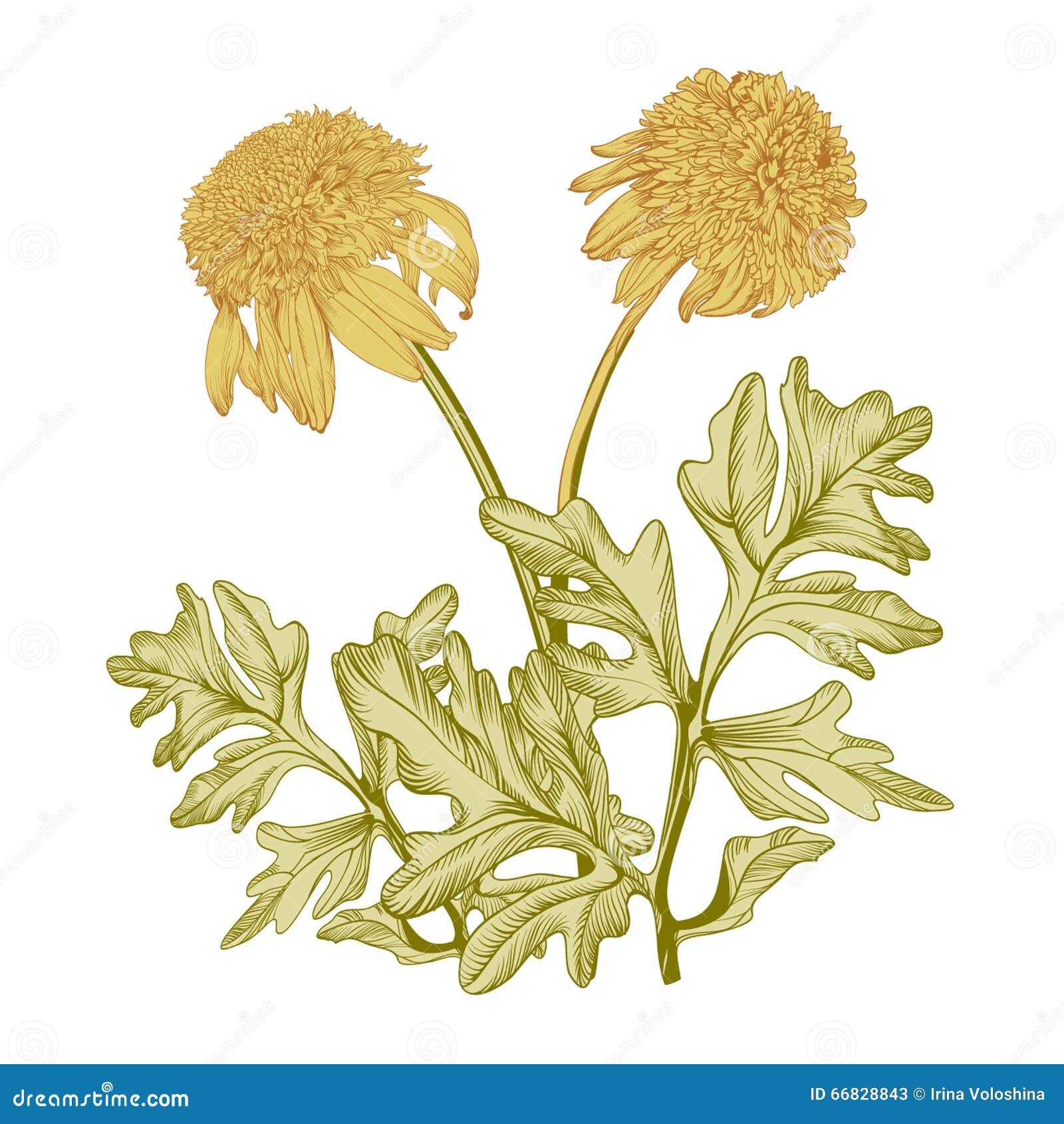 Vintage Drawing Of Yellow Flowers Stock Illustration Illustration