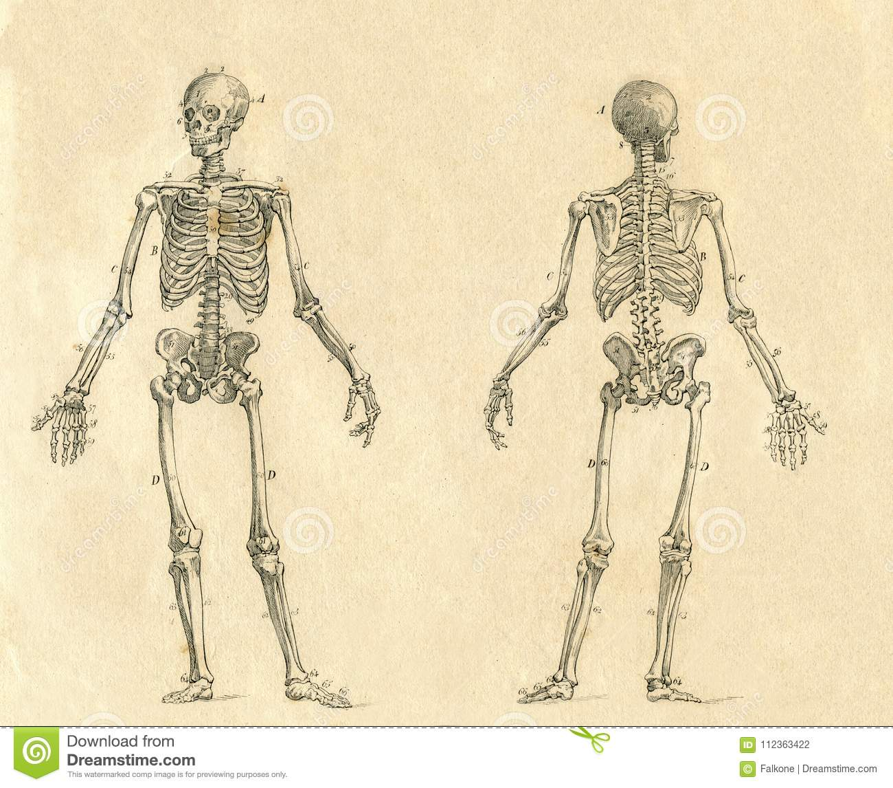Human Skeleton Vintage Drawing Engraved Illustration Stock