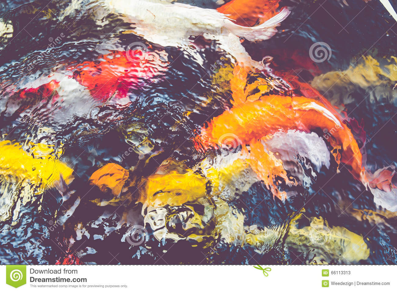 Vintage filter koi fish in pond colorful natural for Colorful pond fish
