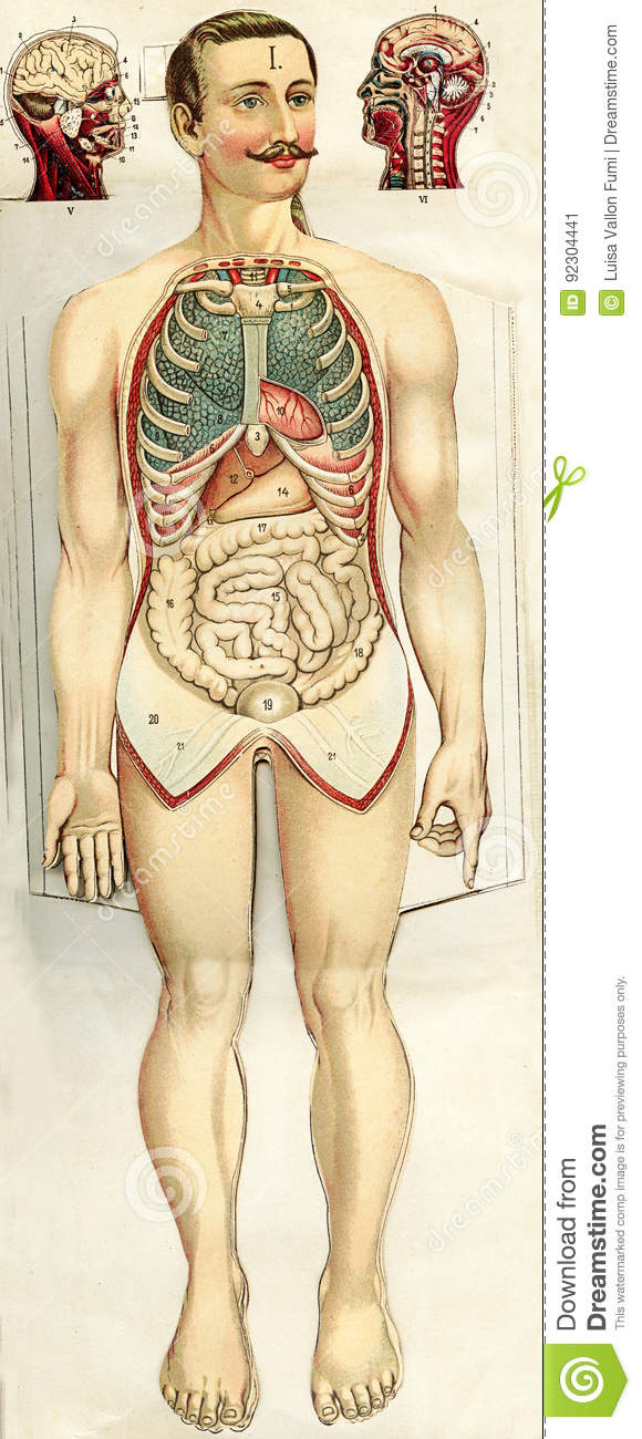 Vintage Illustration, Human Body, Abdomen Anatomy Stock Illustration ...