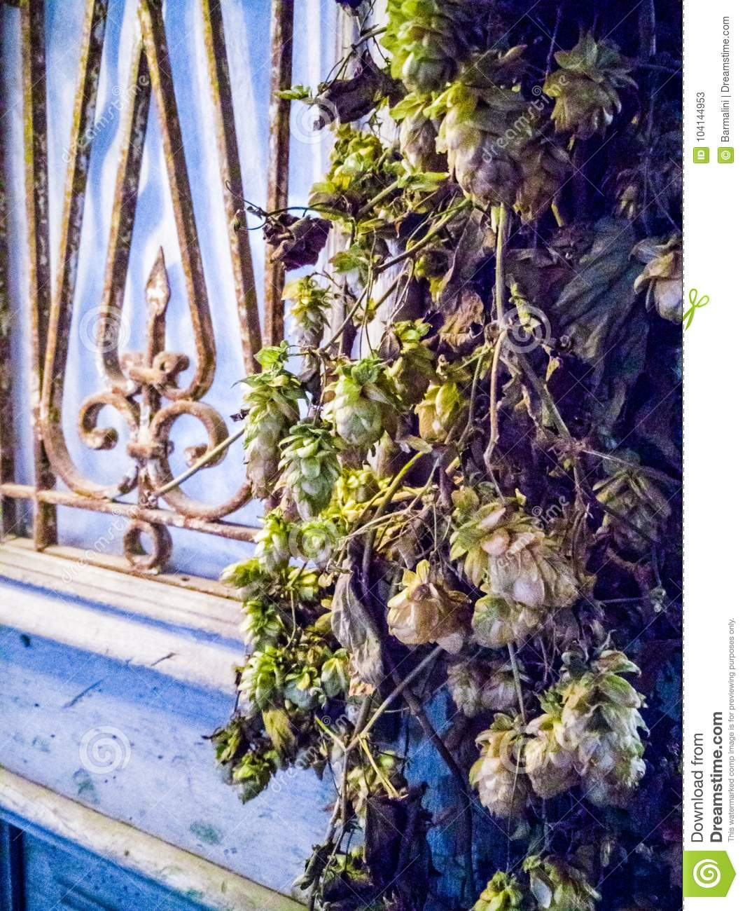 Vintage Soft Colors Dried Hops Cones Decoration On Old City Wa