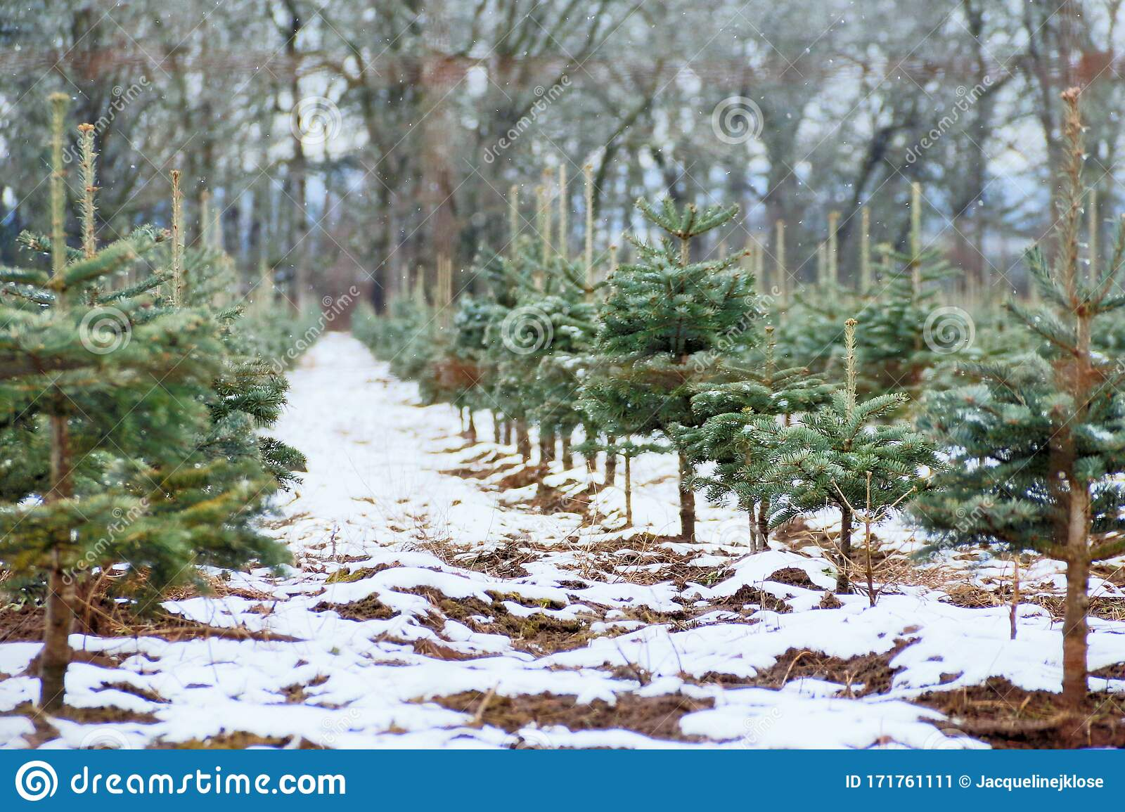 Vintage Style Image Of Snow Dusted Christmas Tree Farm Brown Soil Peaking Through Woods And Sky In Background Daytime Willame Stock Image Image Of Hills Pseudotsuga 171761111