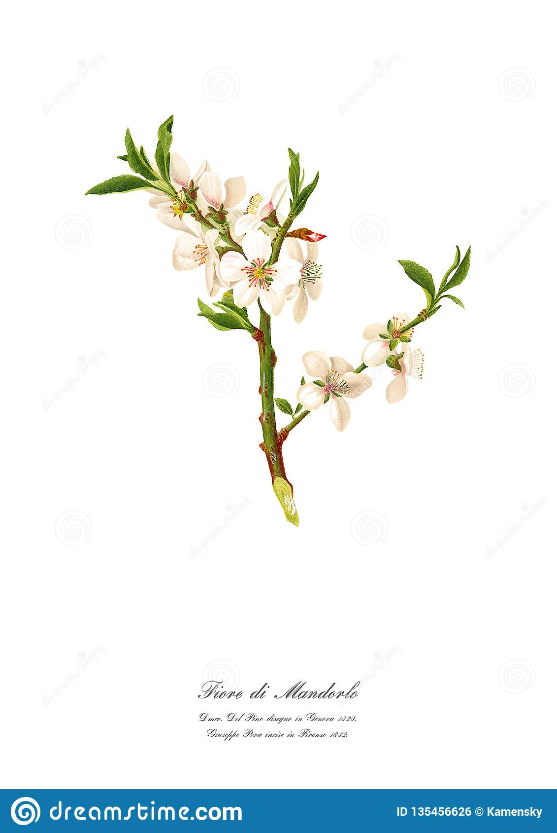 Flowering Almond Tree Stock Illustrations 161 Flowering Almond Tree Stock Illustrations Vectors Clipart Dreamstime