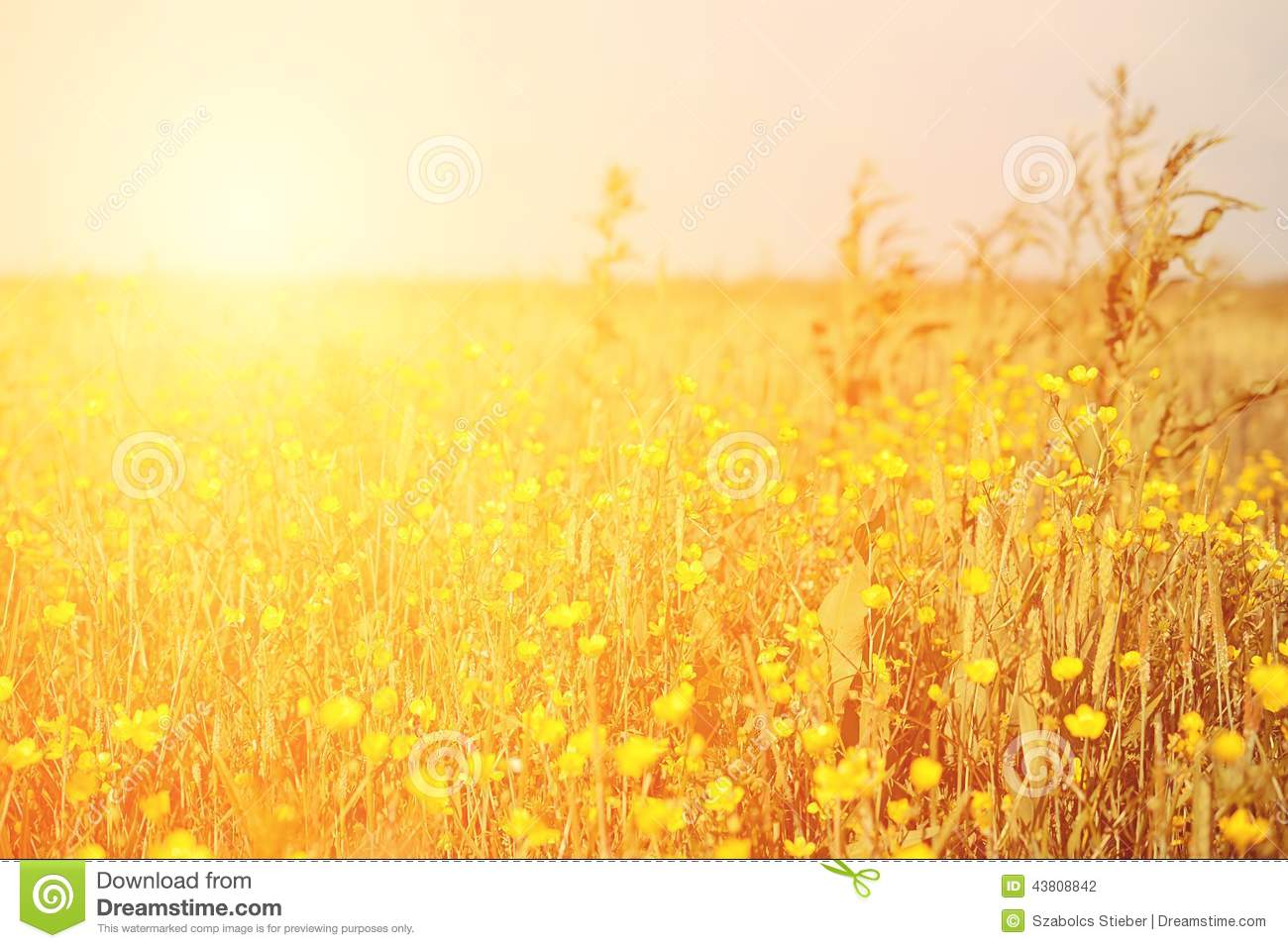 Vintage Yellow Flower Field Stock Photo - Image: 43808842