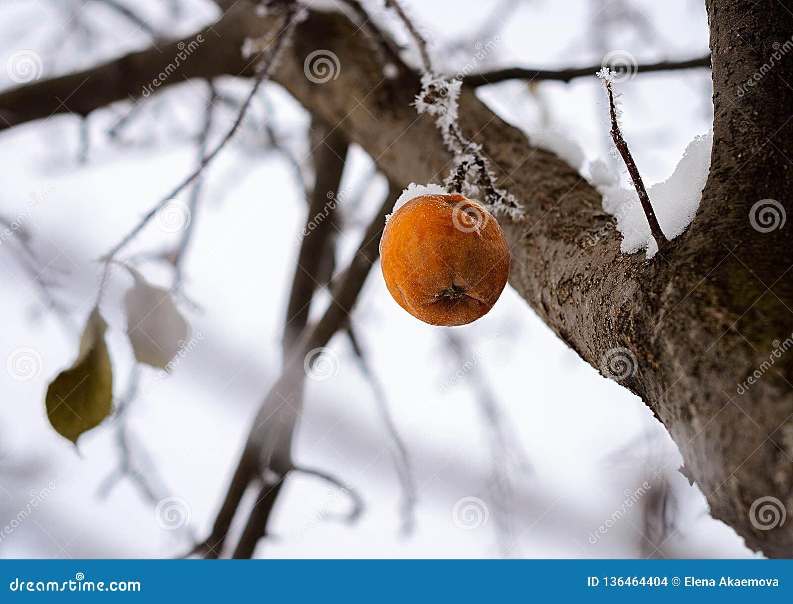 Vinter Apple på trädet