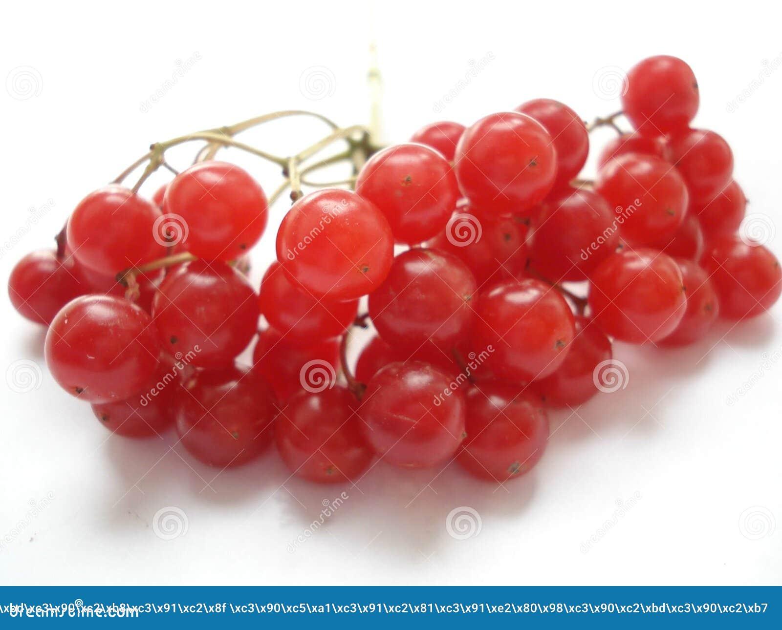 Vinter för tät cranberry för bär saftig mogen övre Röd viburnum på en vit bakgrund Filialen av viburnumen