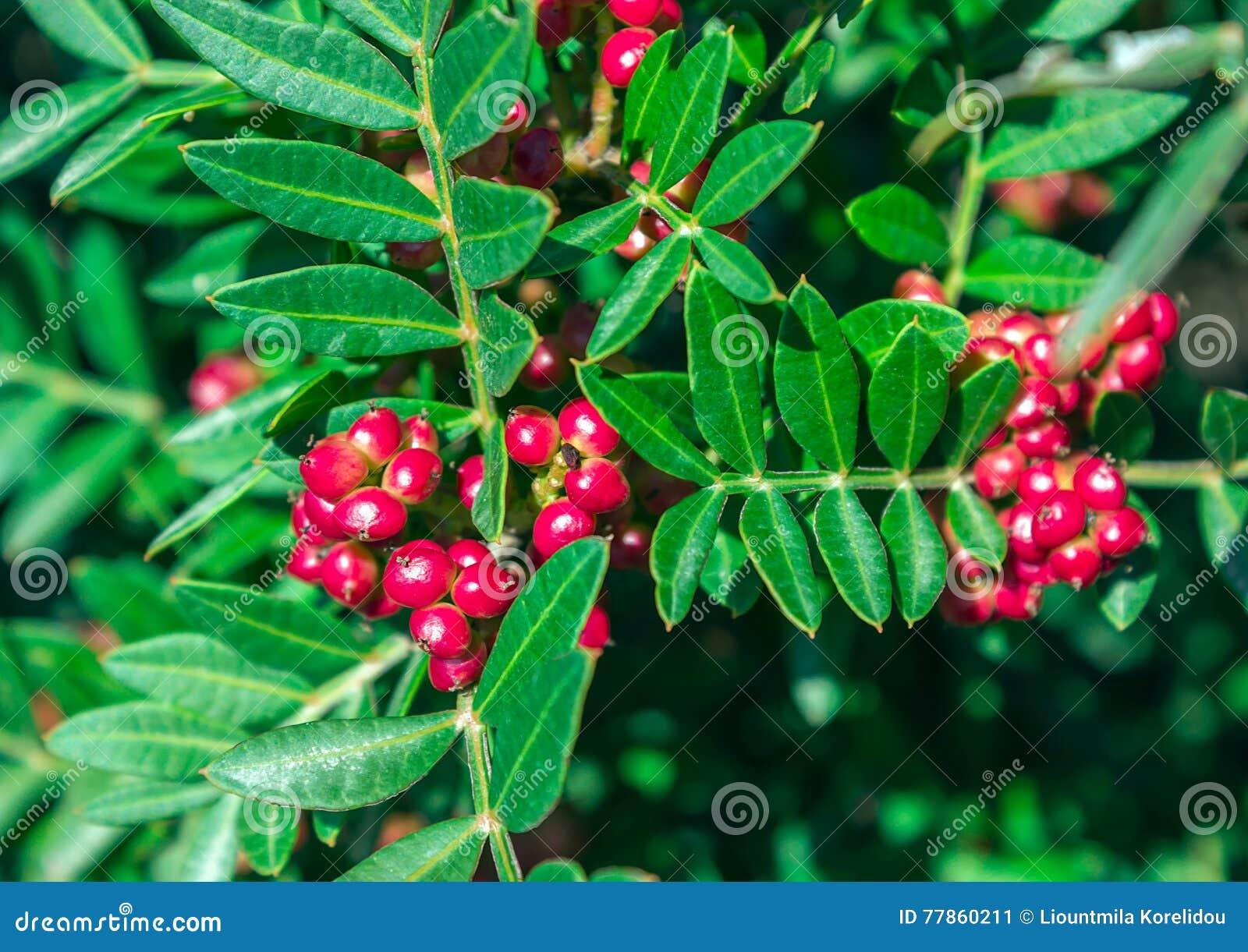 Vintergrön buske med röda bär Pistacialentiscus