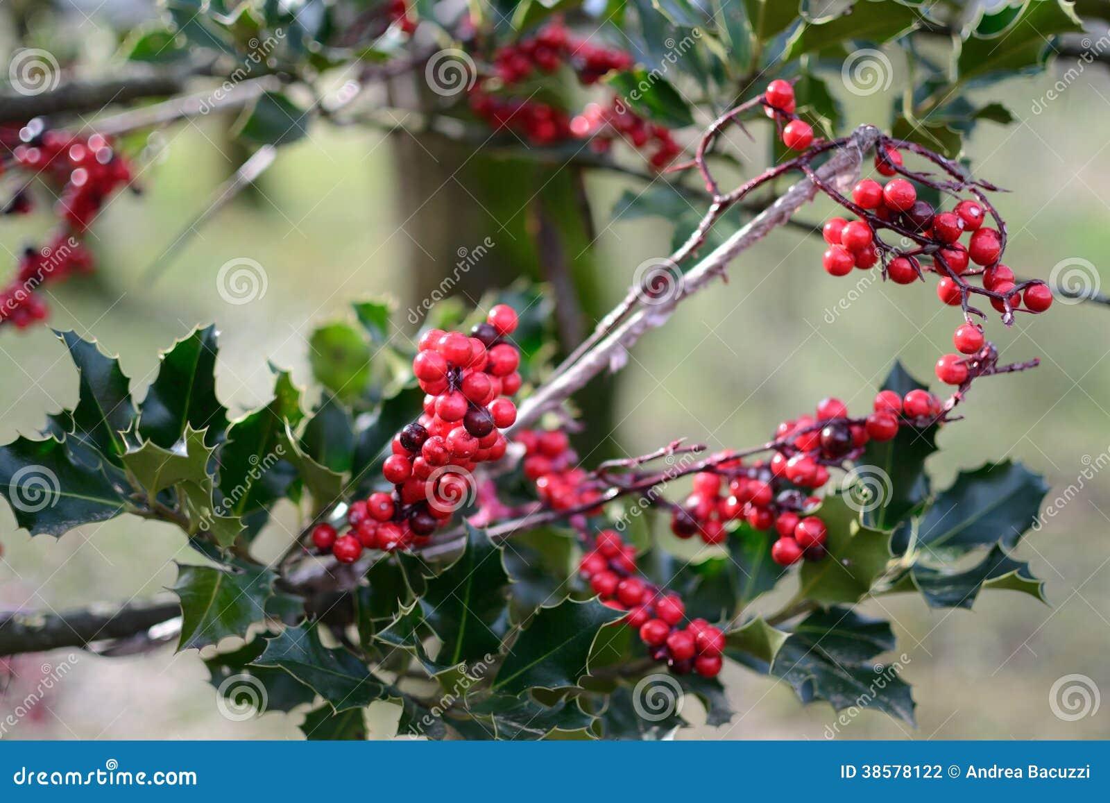 Vintergrön slaktares kvastbuske