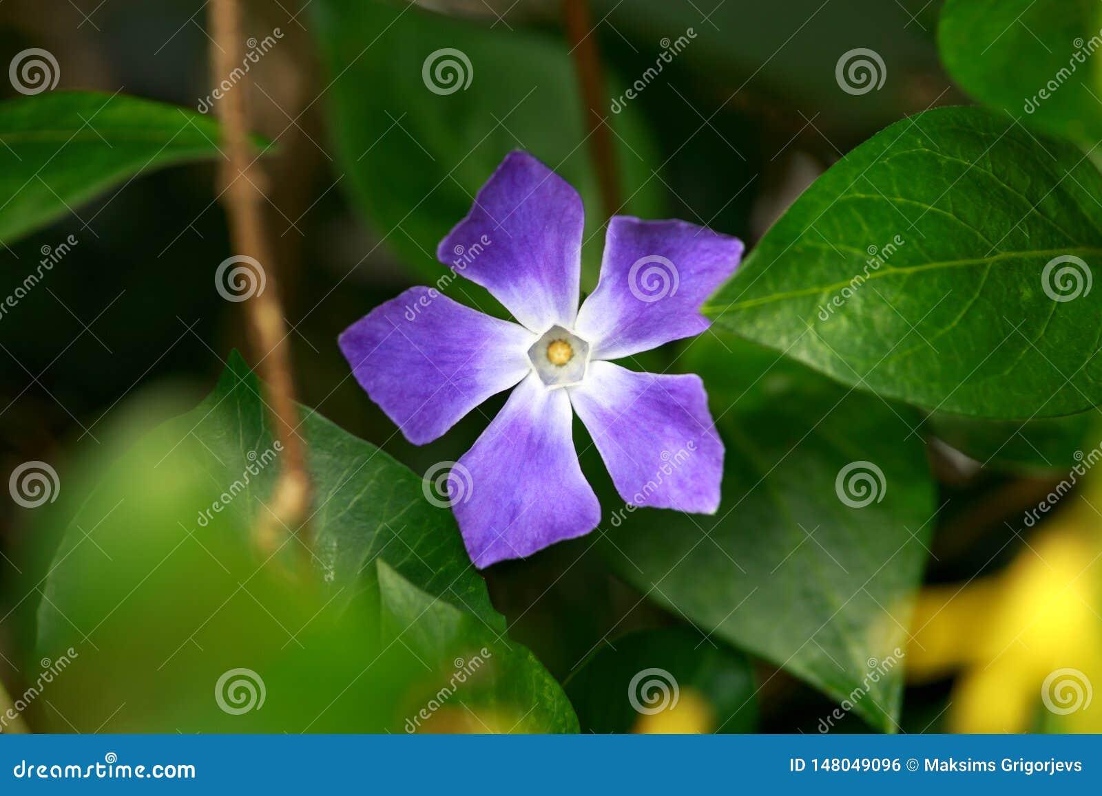 Vintergröna Vincaminderårig, växt med blommor som inspring trädgården