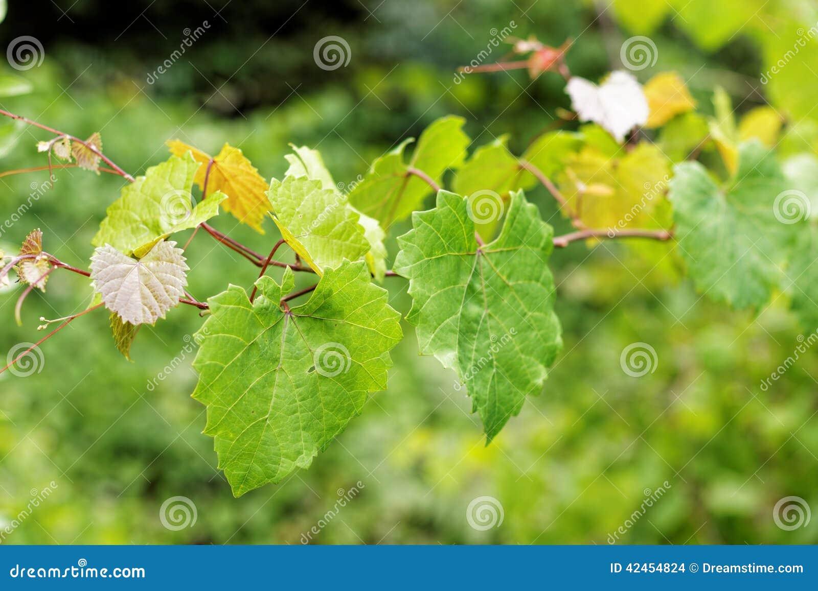 Viny Blätter