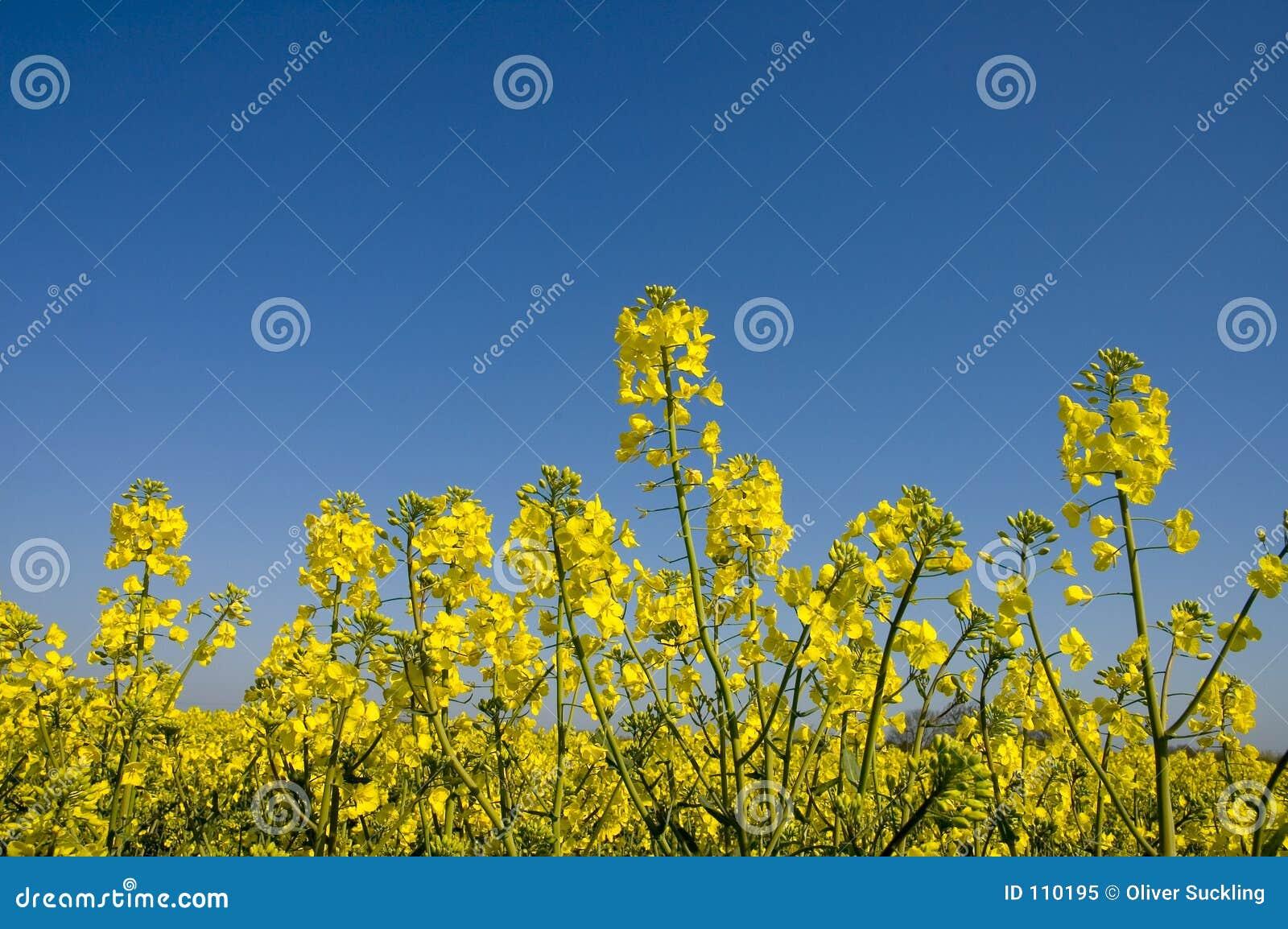 Violação de semente oleaginosa 1