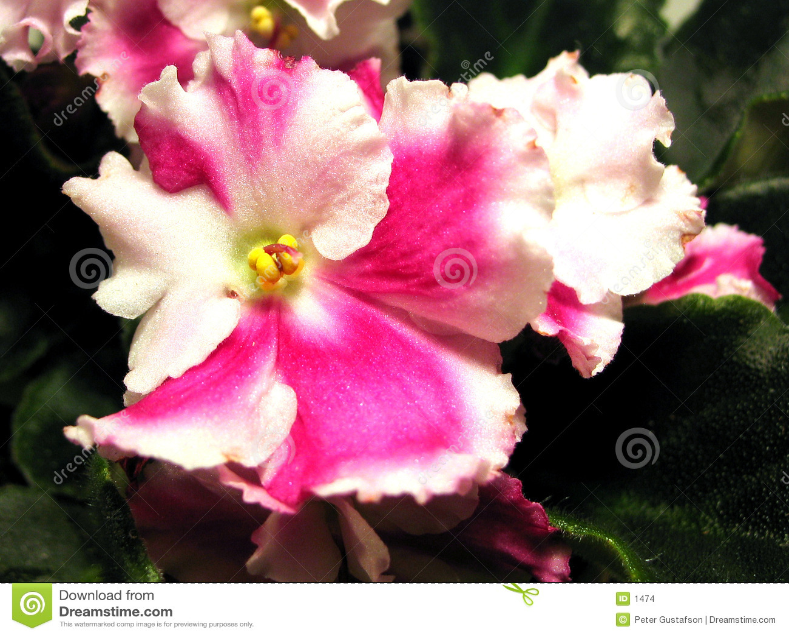 Viola africana