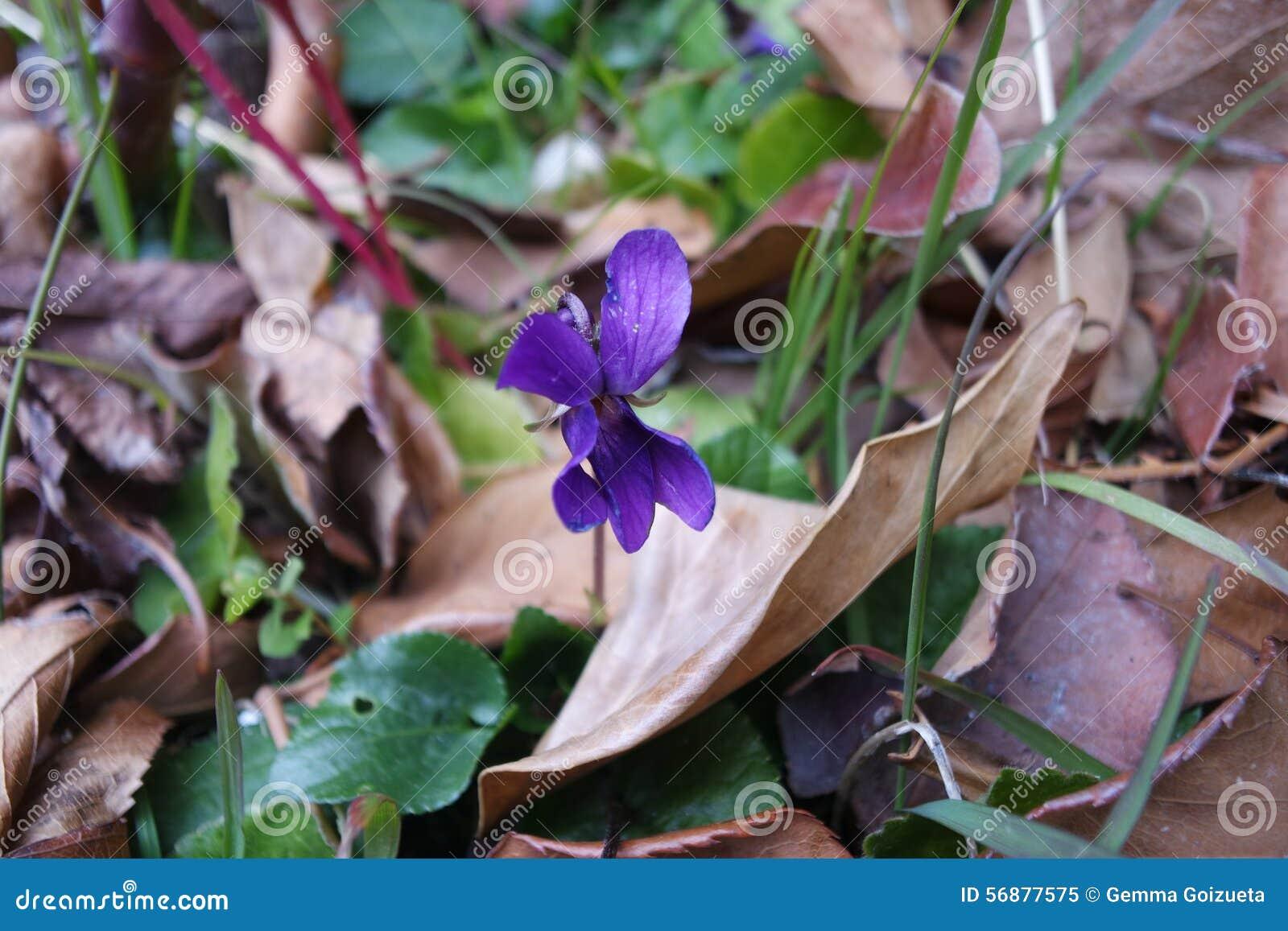 Viola in autunno