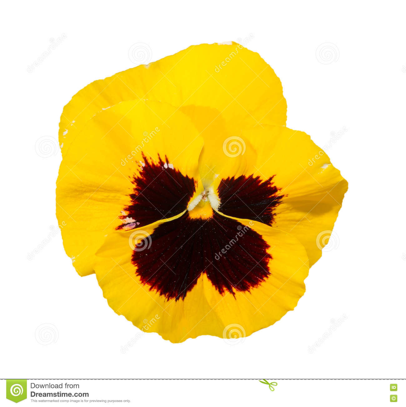Viola Black And Yellow Pansy Flower Isolated On White Stock Image