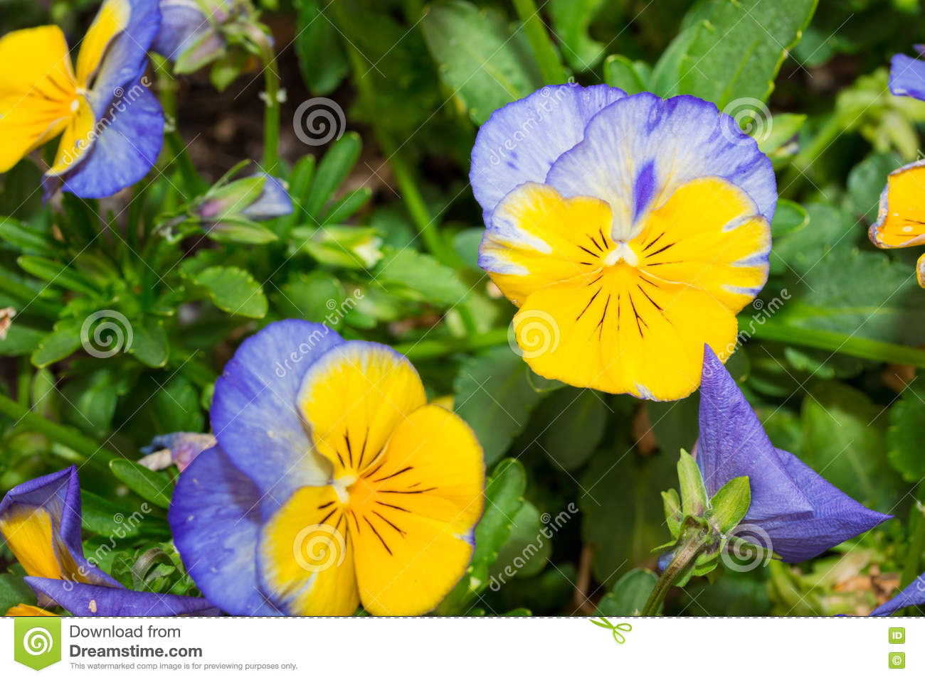 Viola Blue And Yellow Pansy Flower In Garden Stock Image Image Of