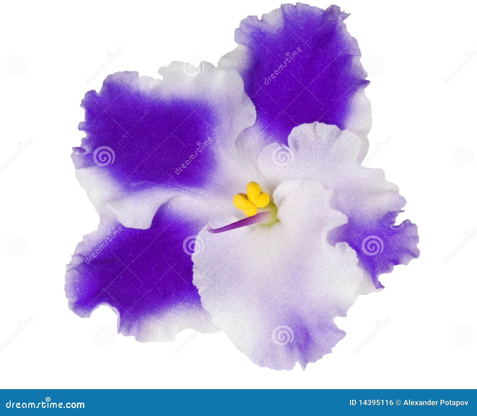 Viola con i petali blu e bianchi