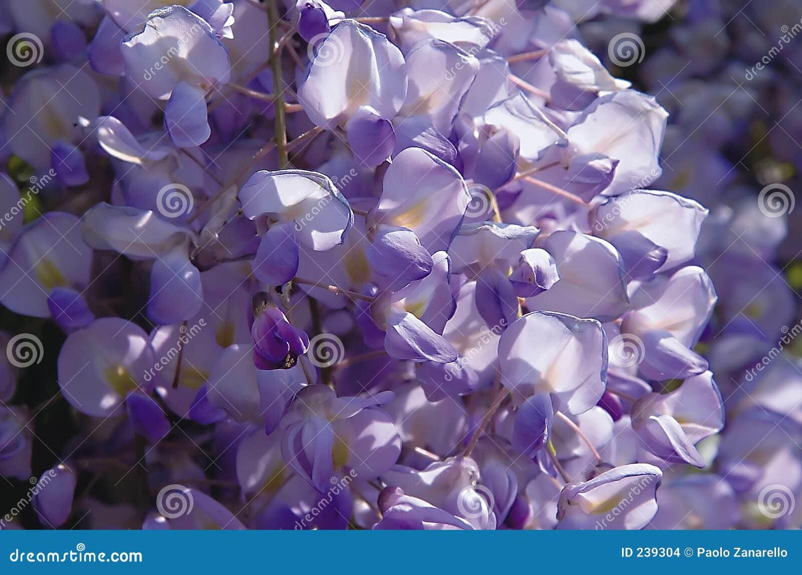 Viola di glicine immagini stock immagine 239304 for Glicine disegno