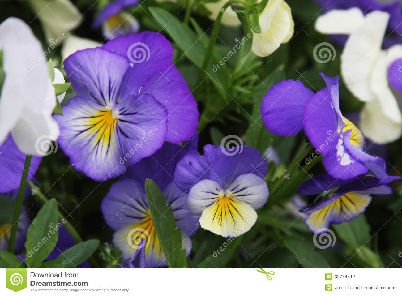 Viola Flower Field Stock Photography Image 32774412