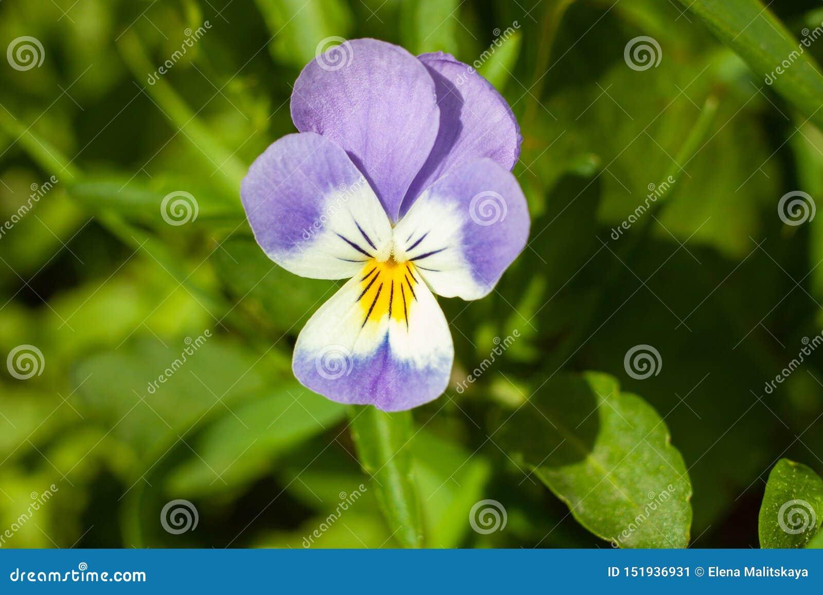 Viola hermosa de la flor tricolora, o pensamiento