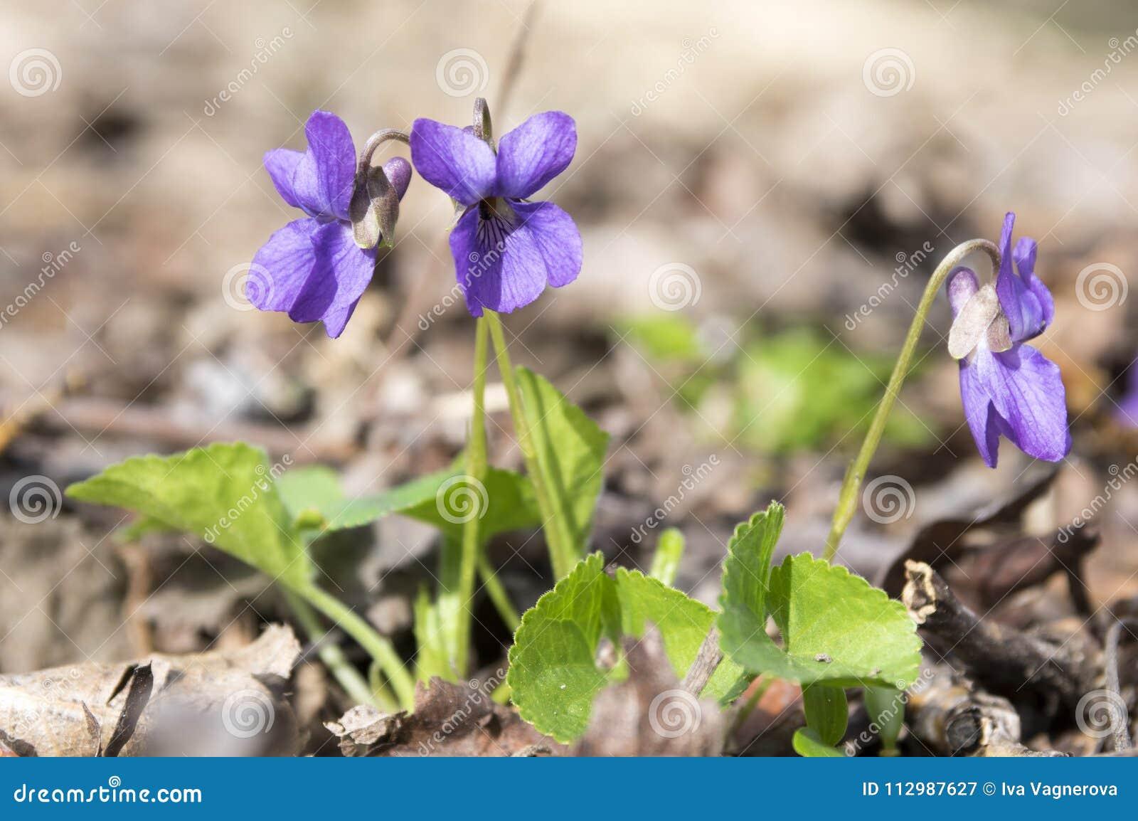 Viola odorata, spring common violet in bloom