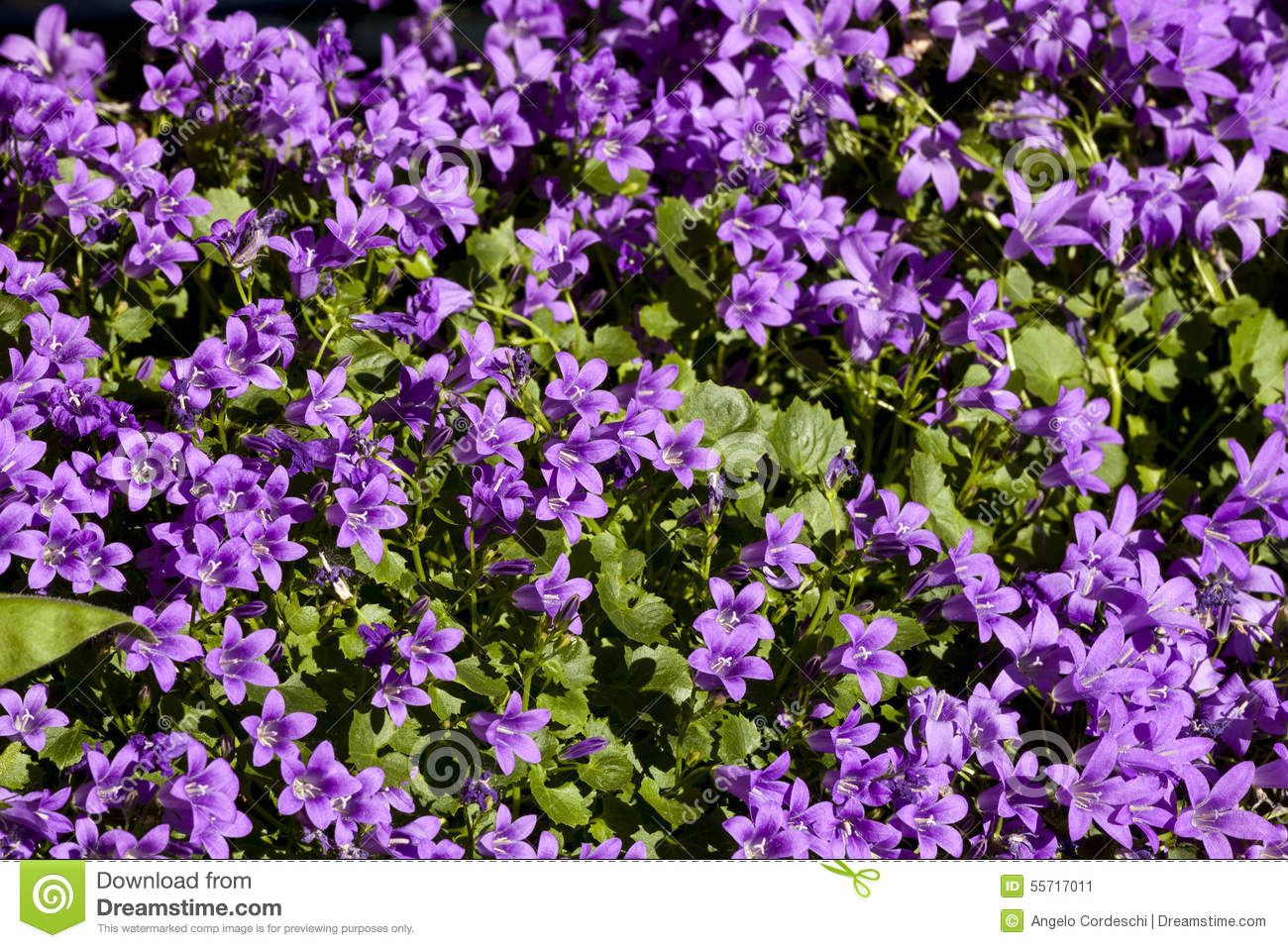 Viola plant stock photo image 55717011 for Dream plants for the natural garden