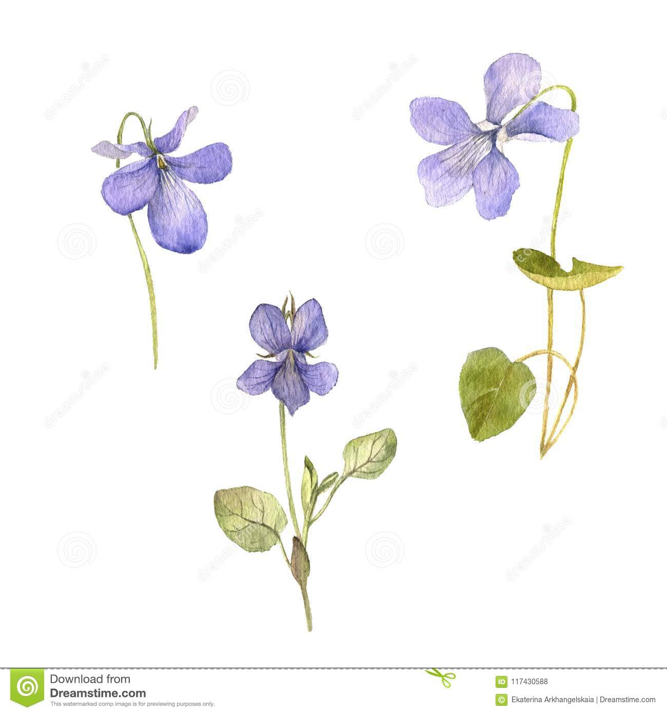 Watercolor Drawing Flowers Of Viola Stock Illustration Illustration Of Graphic Floral 117430588