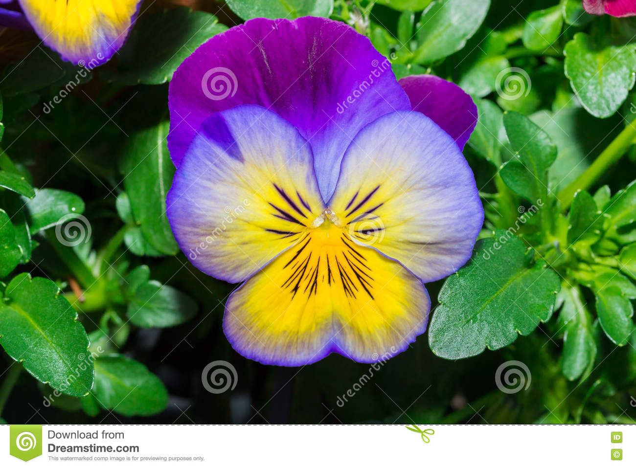 Viola Purple And Yellow Pansy Flower In Garden Stock Image Image