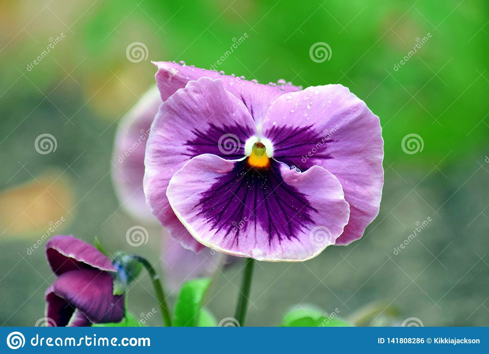 Viola Tricolor Hortensis Flowers Home Gardening Plants Stock Photo