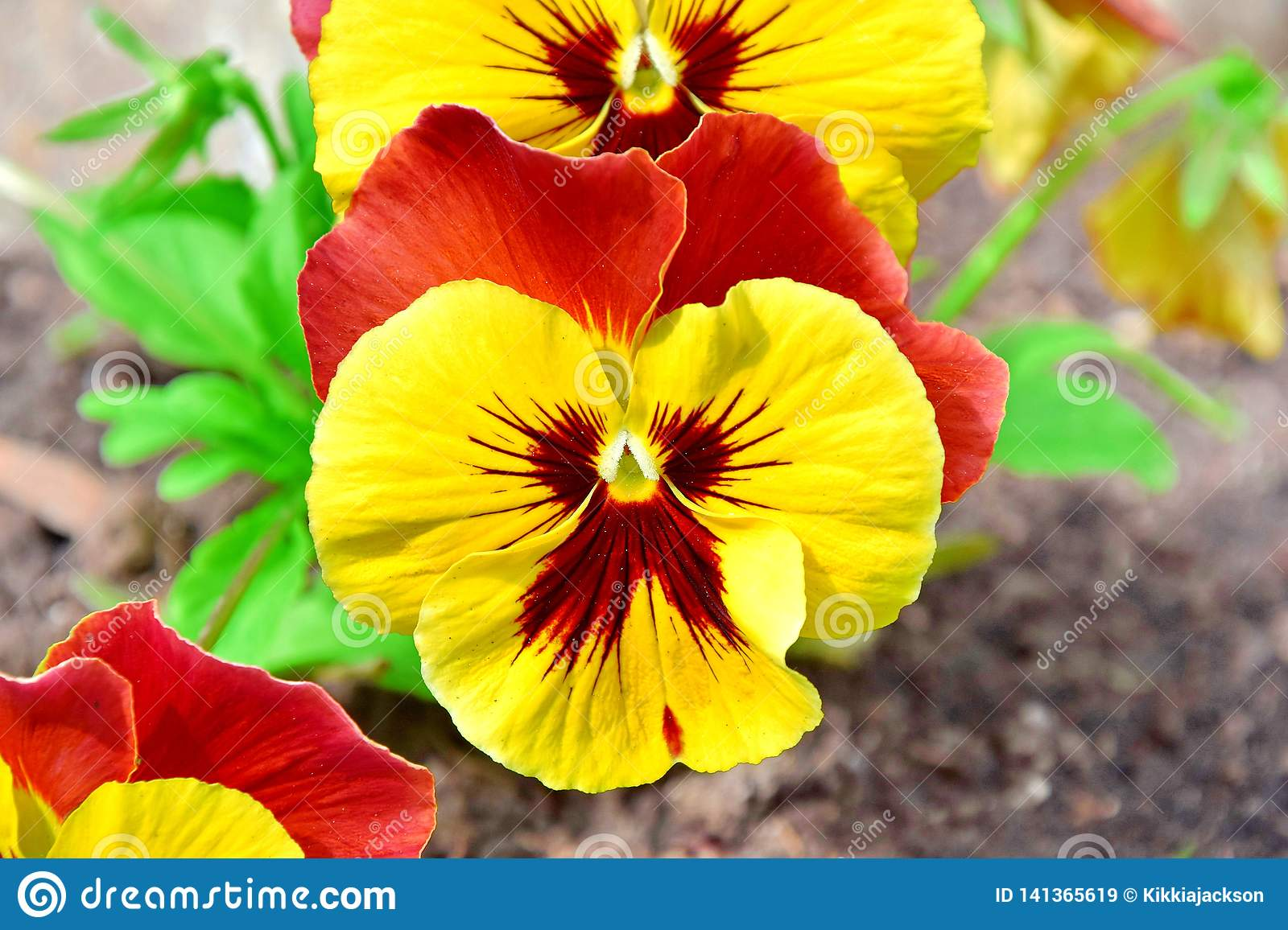 Viola Tricolor Hortensis Flowers Home Gardening Plants Stock Photo