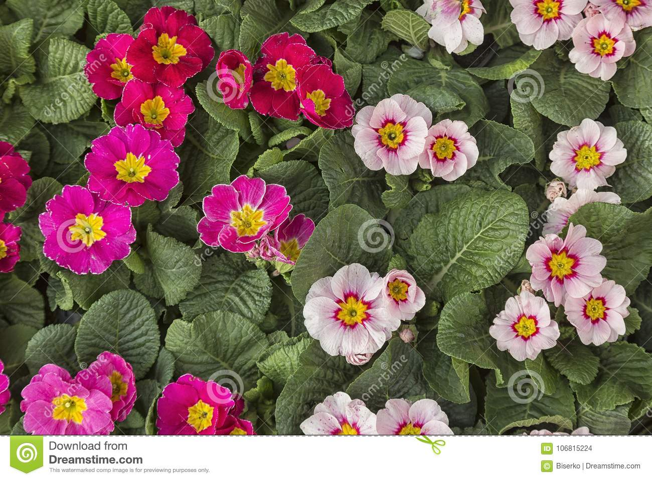 Viola Tricolour Colourful Winter Flowers Stock Photo Image Of