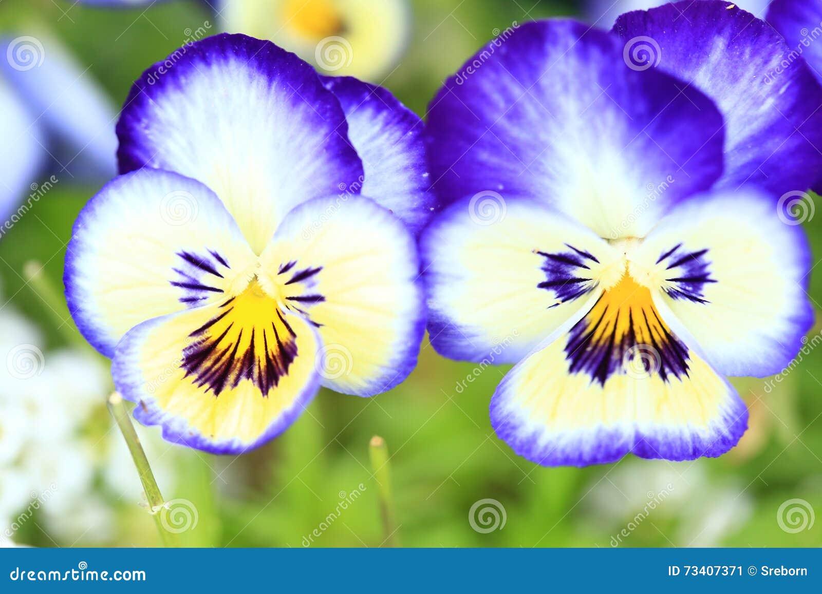 Violas flowers in the garden
