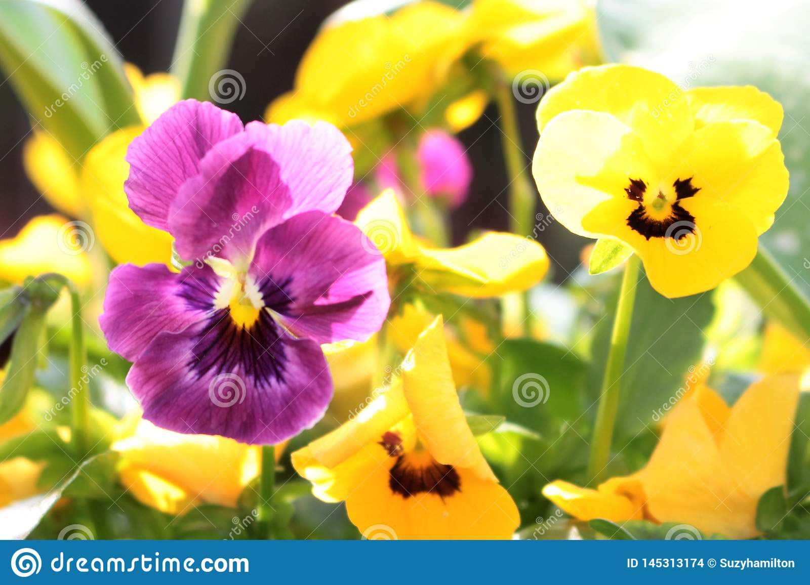 Violas purple and yellow close up in a garden border