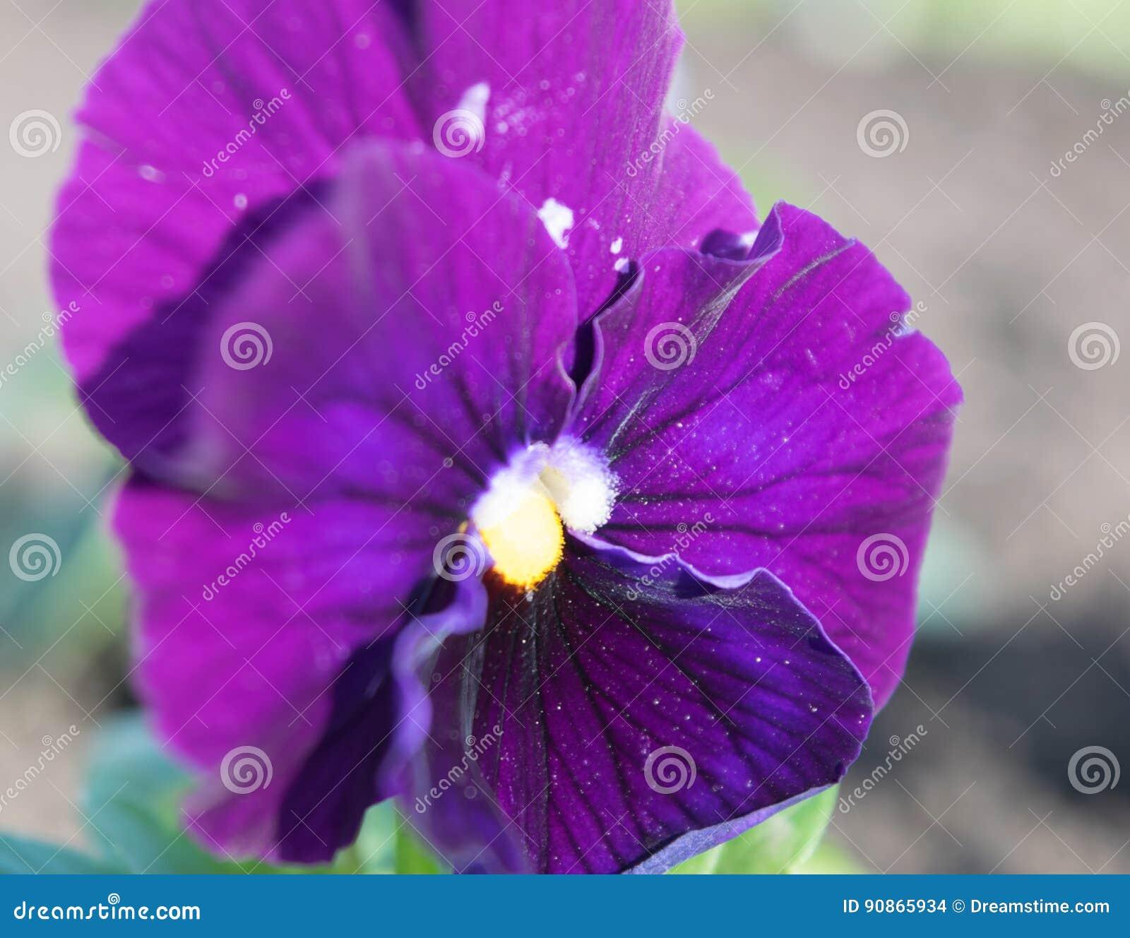 Viole del pensiero, foglio della viola