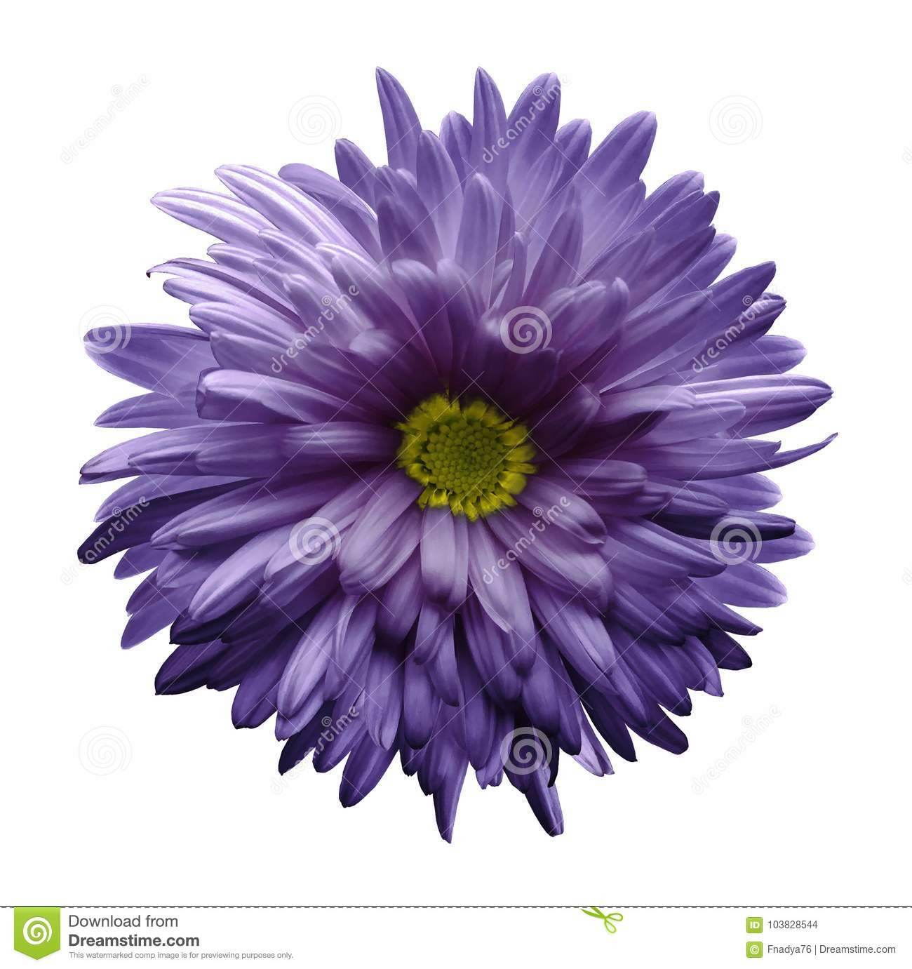 Single Violet Flower Of Aster Isolated On White Background