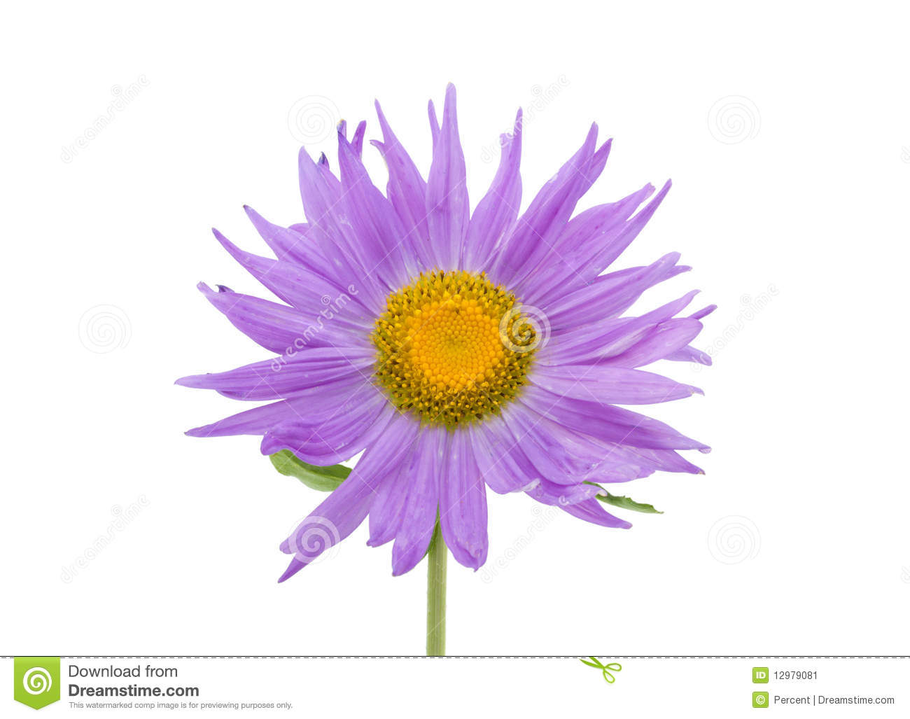Violet Amber Aster Flower Isolated On A White Background