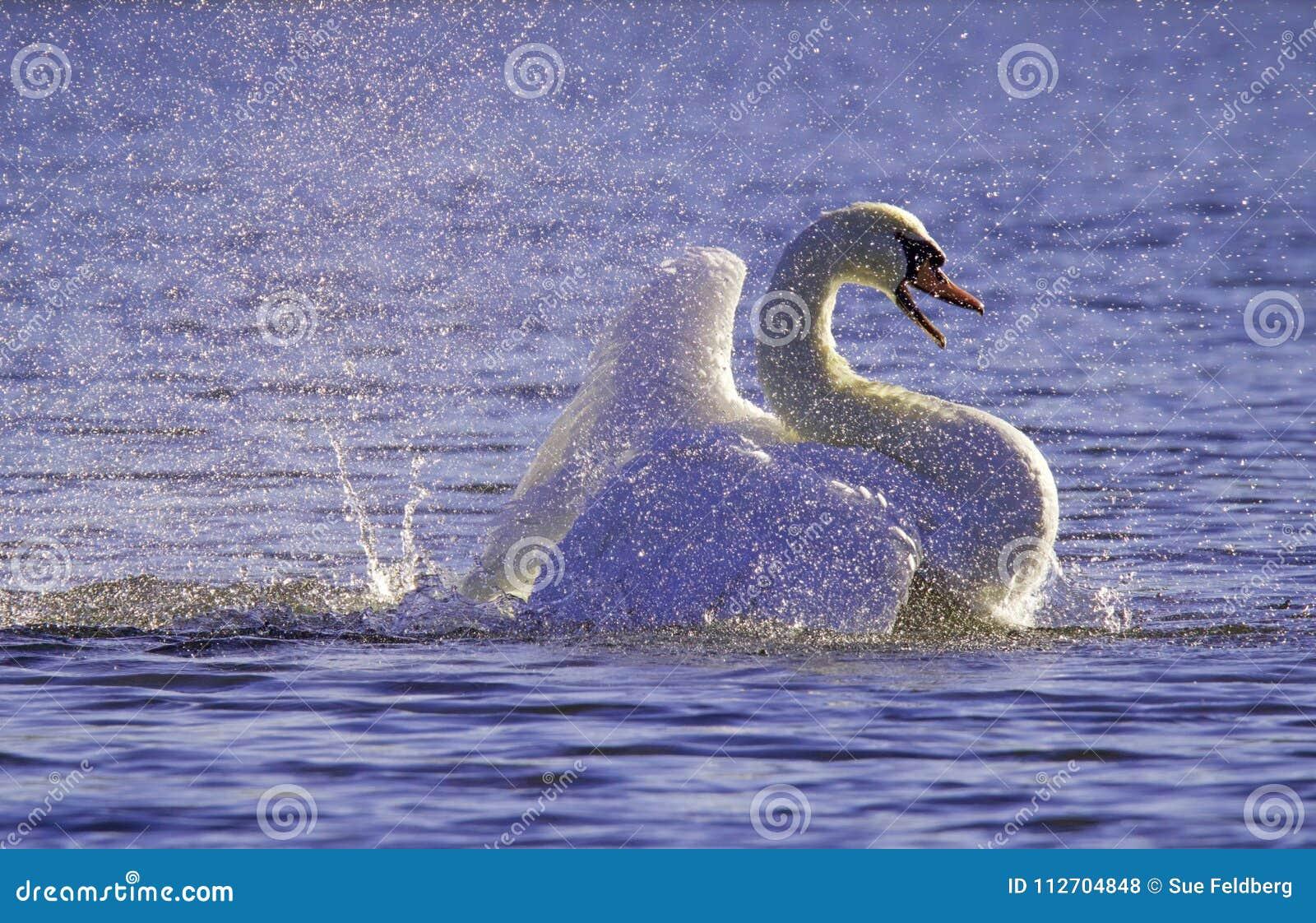 Violet Bathing Swan