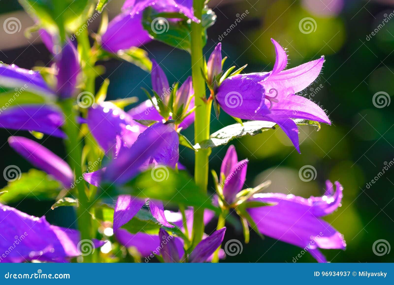 Violet bells