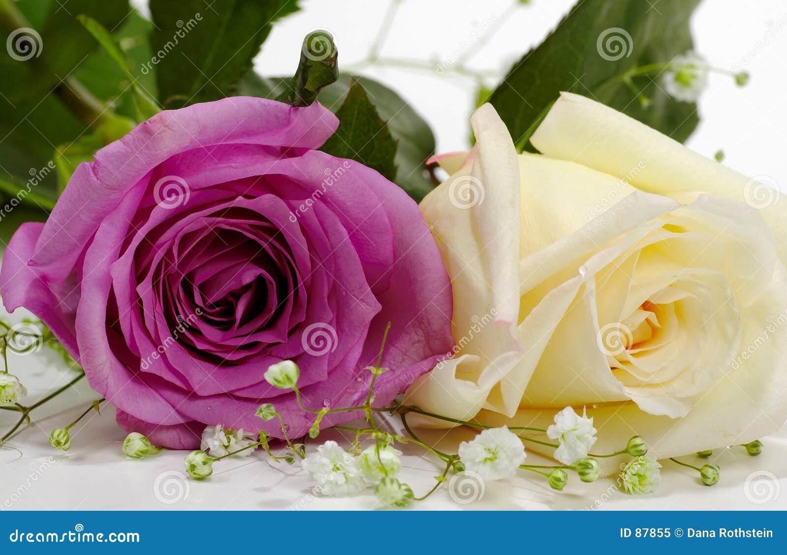 Violet biała róża