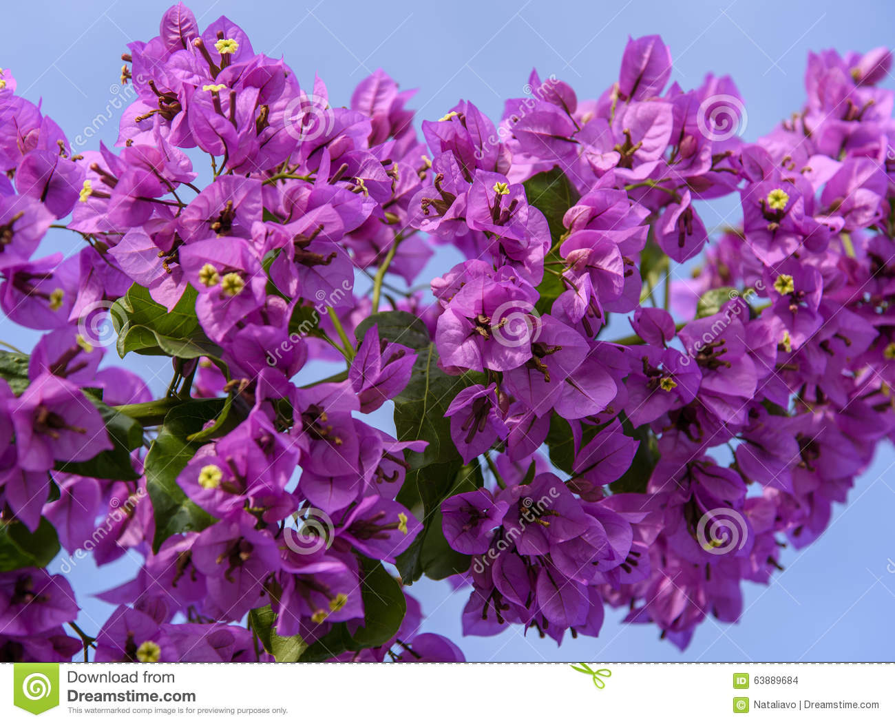 Violet Bougainvillea Branch On The Background Of Blue Sky ...