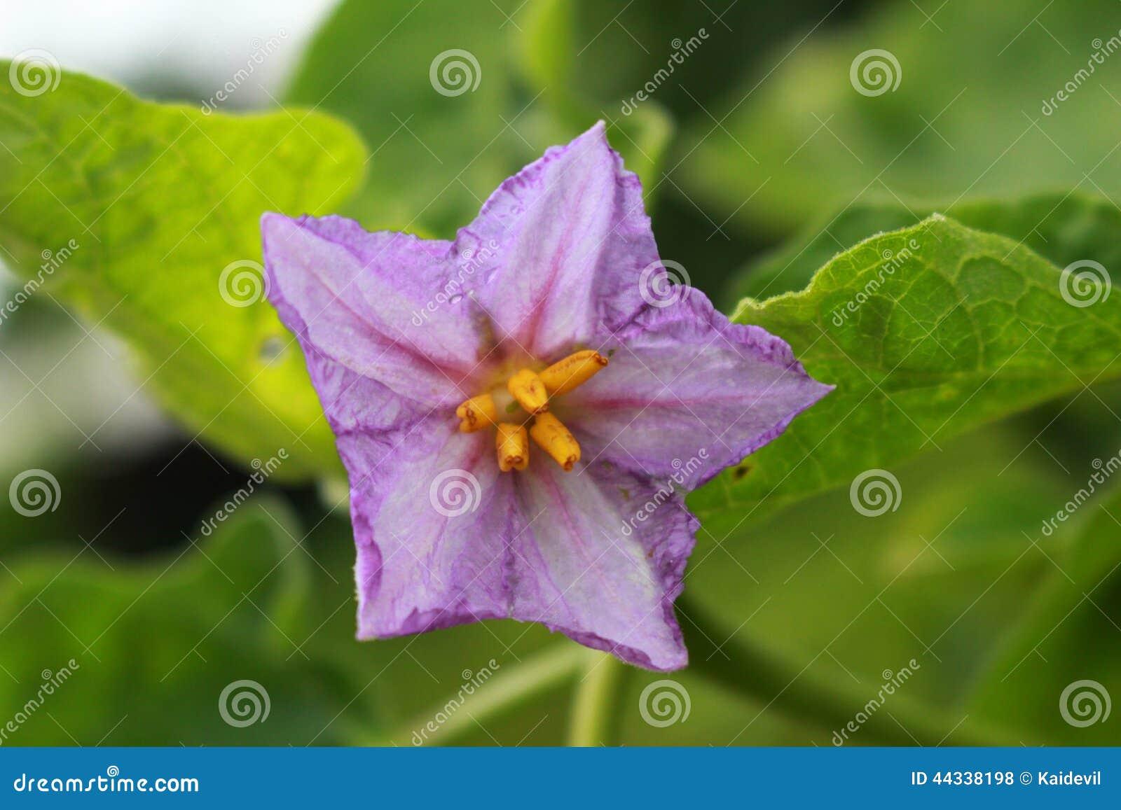 Violet Brazilian Potato Tree
