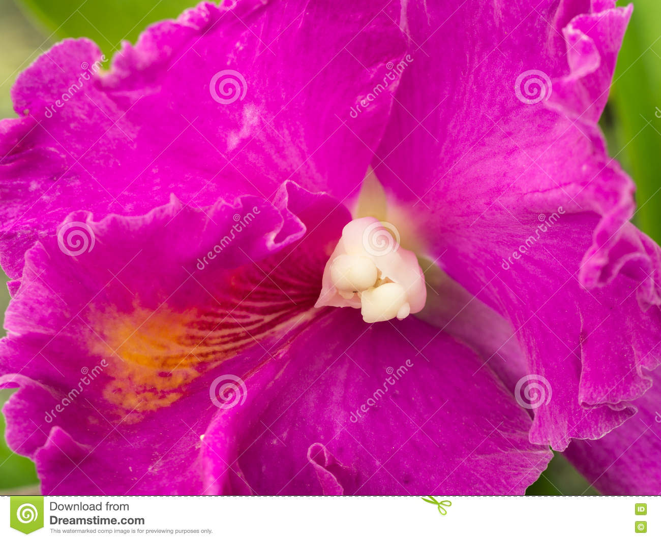 Violet Cattleya Blooming