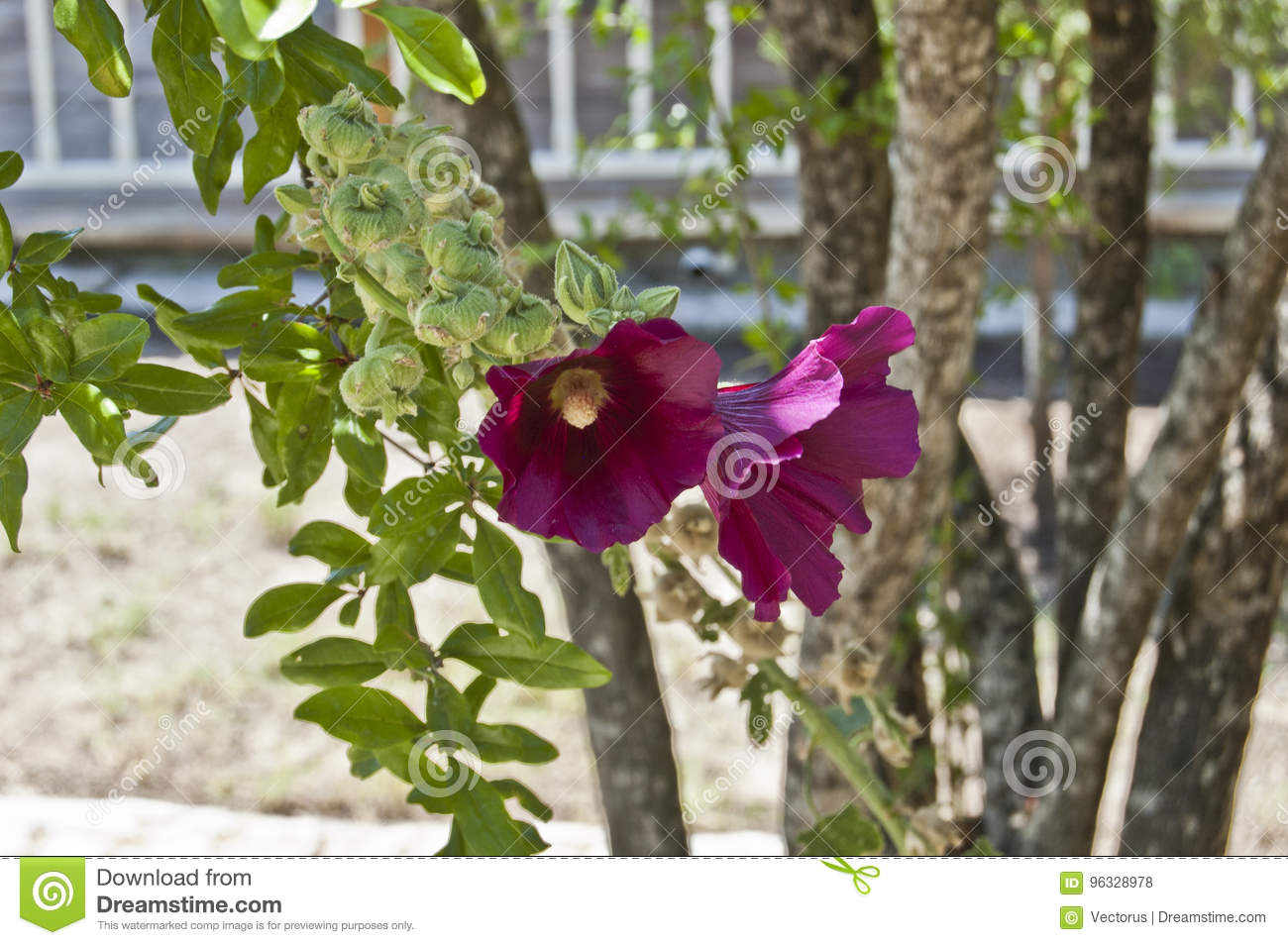 Violet Colored Double Hibiscus Flower Stock Photo - Image of single ...