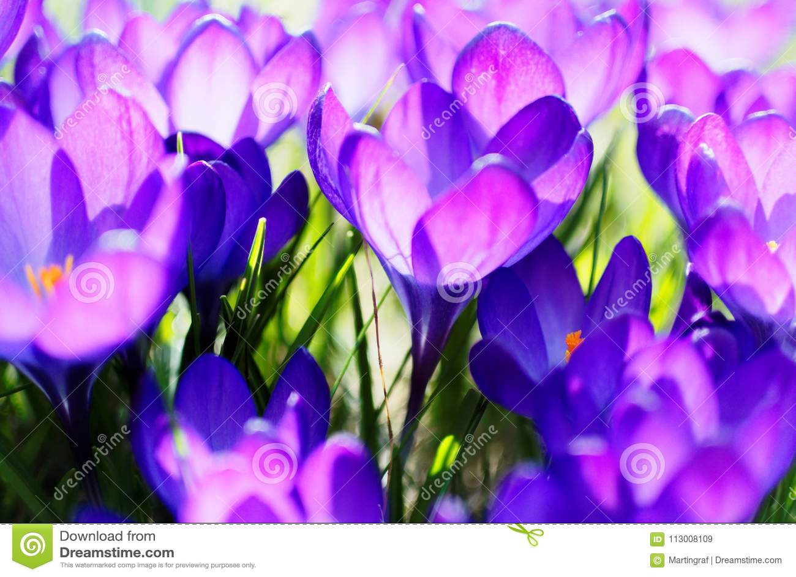 Violet Crocus bloom bright in sunlight