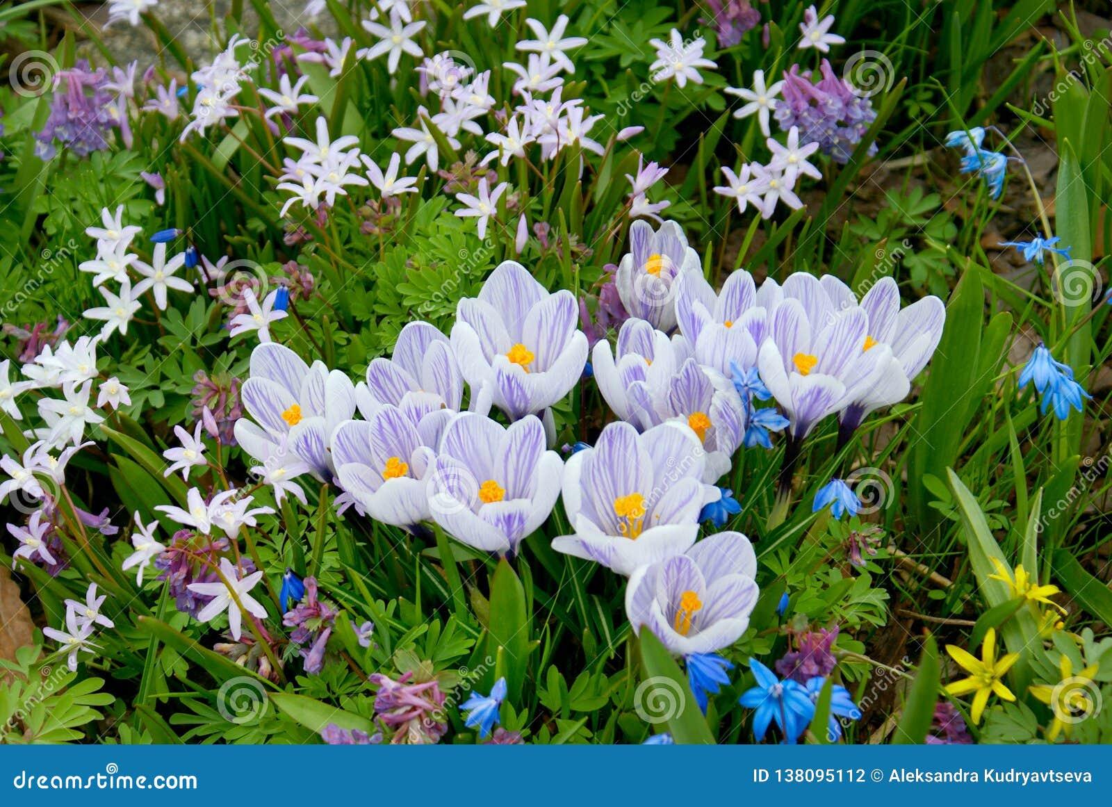Violet crocus flowers field
