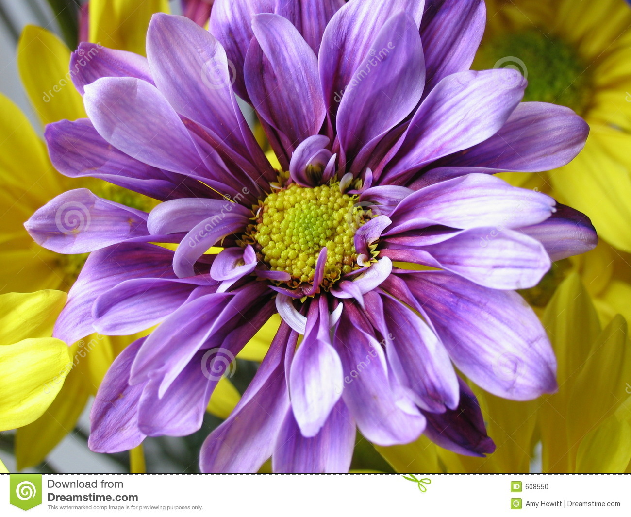 Violet Daisy Stock Photo Image Of Nature Flower Crazy 608550