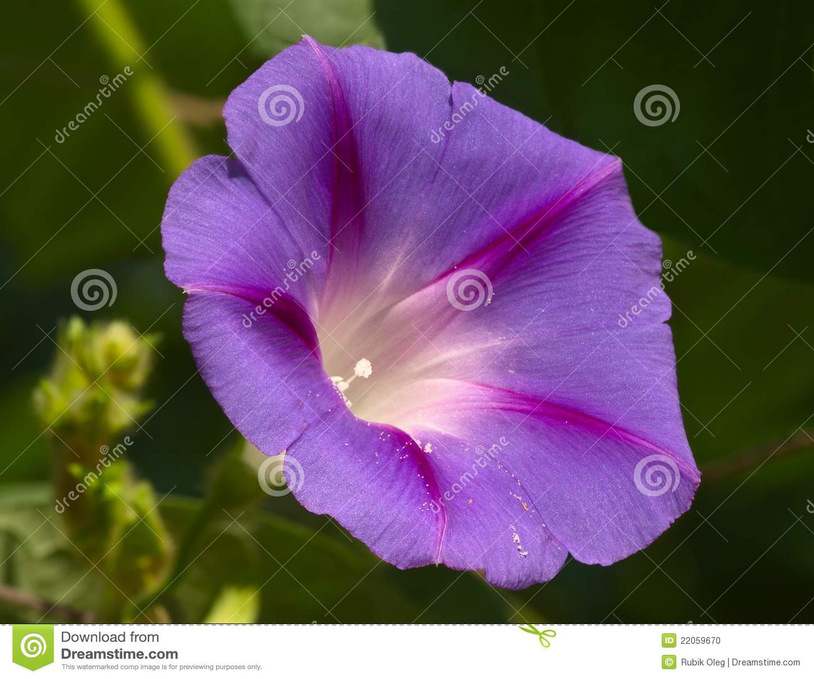 violet flower stock photo  image, Beautiful flower