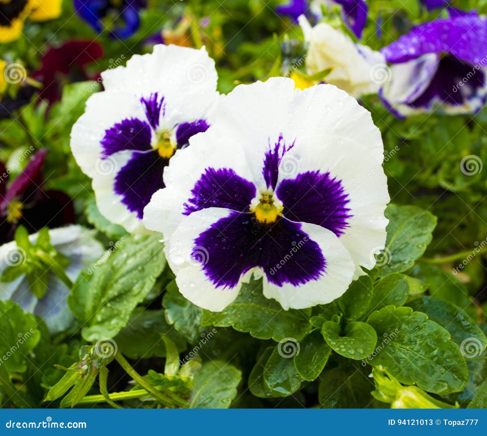 Violet Flower Pansies Flower Pansy Colorful Pansies White Pa