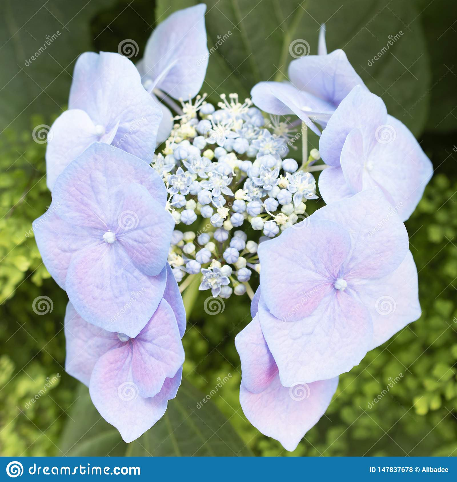 Dream Of Violet Flower Stock Photo Image Of Blossom 147837678